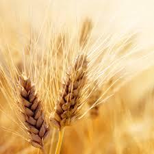 Протеины пшеницы гидролизованные, 50г