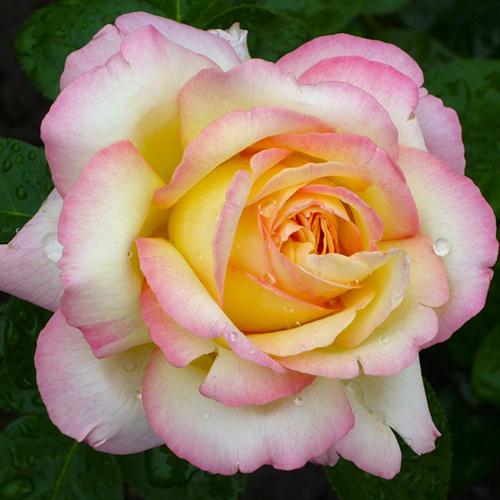 Отдушка Роза, 10г
