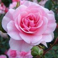 Отдушка Чайная роза 10 г